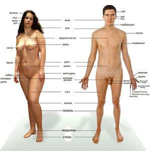 Строения тела человека